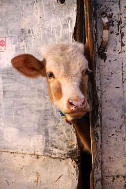 Hungry Calf