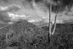 Saguaro Stands