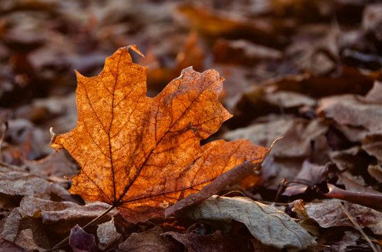 Maple Glow