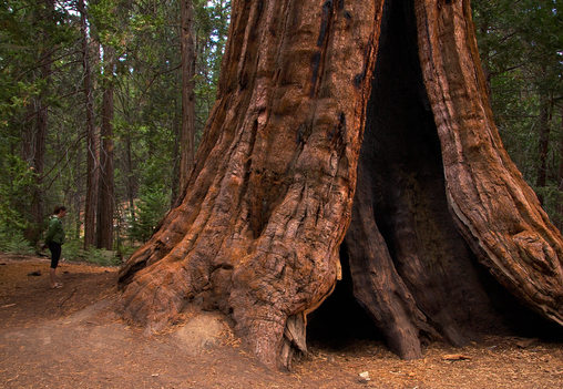Redwood Giant