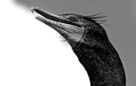 Cormorant Sky