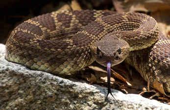 Rattlesnake Greeting