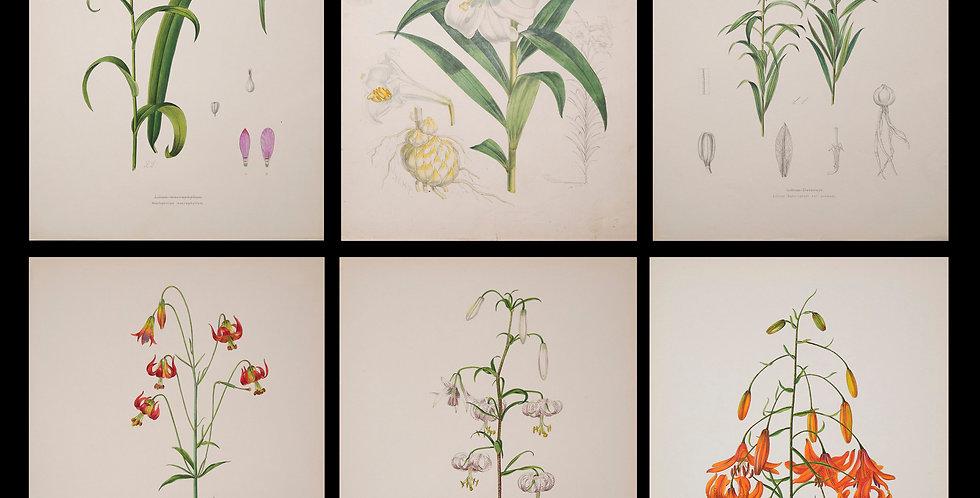 Six 19th Century Botanical Prints of Lilies, J.H. Elwes