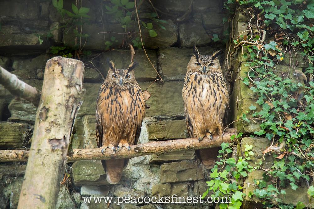 Eagle Owls at Harewood Bird Garden