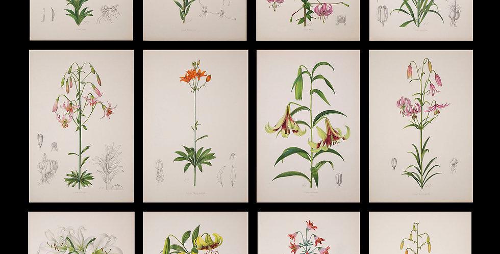 Twelve 19th Century Botanical Prints of Lilies, J.H. Elwes