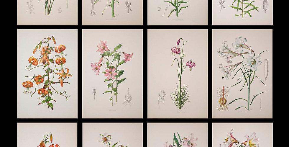 Twelve 19th Century Botanical Prints of Lilies, J.H. Elwes, 1877