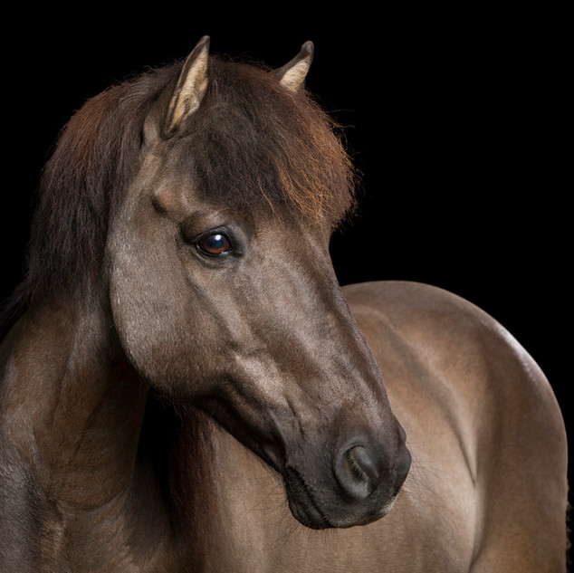 Dein Pferd im Studio