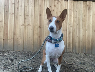Maybelle | Basenji | Gardena, CA | In Training
