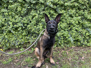 Havoc | Belgian Malinois | Northridge, CA | In Training