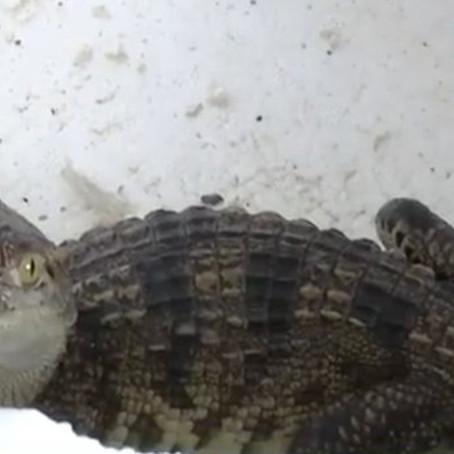 Familia compra pescado por internet y en su lugar reciben un cocodrilo vivo