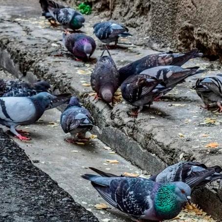 Reino Unido: Multan a joven por alimentar a paloma en un parque