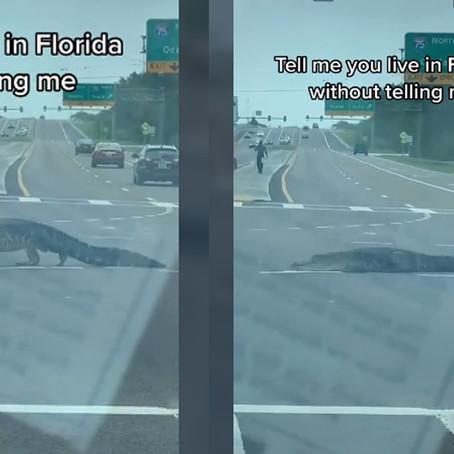Florida: Captan a caimán paseando en plena calle