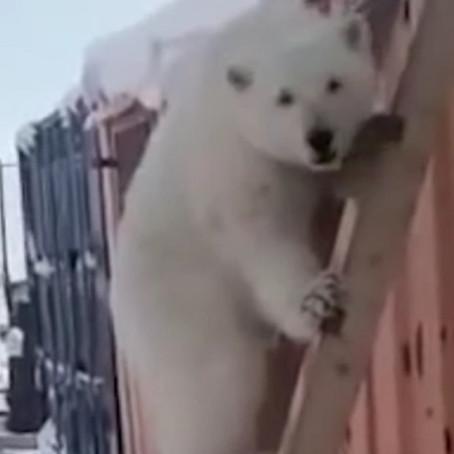 Rusia: Mineros adoptan a una cría de oso polar  huérfana
