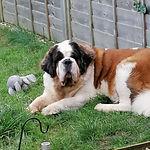 Saint Bernard dog in garden