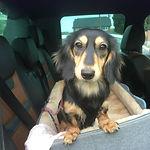 little dog sitting in car seat