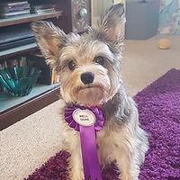 small dog wearing training rosette