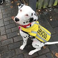 trainng nervous dalmation dog