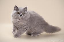 британская длинношерстная, британская длинношерстная кошка, миранжел, мирангел, купить британского котенка москва, купить котенка в москве, британская кошка, британский котенок, Mirangel, britanica cat, Miranzhel, питомник британских кошек