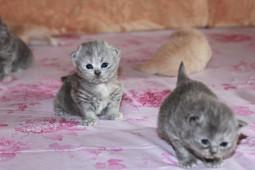 британская длинношерстная, британская длинношерстная кошка, миранжел, мирангел, купить британского котенка москва, купить котенка в москве, британская кошка, британский котенок, Mirangel, персидский котенок купить, Miranzhel, питомник британских кошек