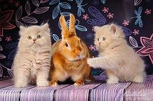 британская длинношерстная, миранжел, мирангел, купить британского котенка москва, британская кошка, британский котенок, Mirangel, britanica cat, Miranzhel, питомник британских кошек, питомник британских кошек москва, британика