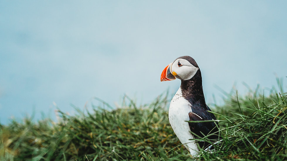 Puffin on Watch, Iceland