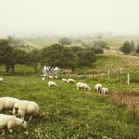 Sheep and fog_#shobac #upperkingsburgns