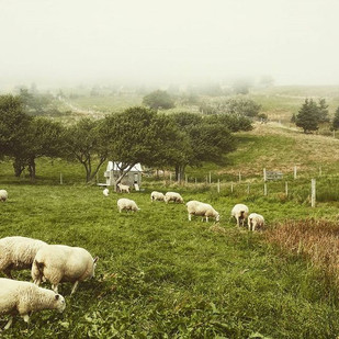 Sheep and fog_#shobac #upperkingsburgns