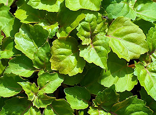 Patchouli-Light-essential-oil.jpg