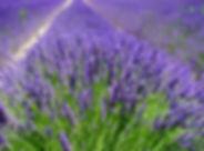 lavender-field-1595587_960_720.jpg