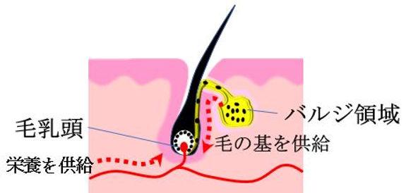 安城市・刈谷市の脱毛サロン:毛の生える仕組み1