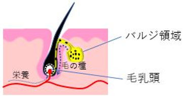 バジル領域・毛乳頭・毛母細胞・毛包の説明図.JPG