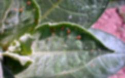Tütünde Şeftali Yaprak Biti, Myzus persicae
