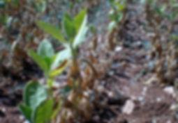 tütünde canavarotu, orobanche
