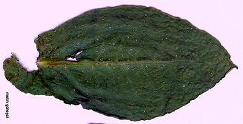 kara yeşil tütün