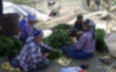 tütün dizimi, tütün işçileri