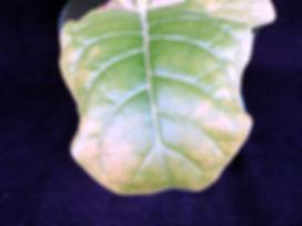 Tutunde Potasyum (K) Noksanlığı