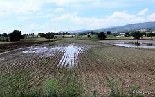 yağmur zararı, tütün tarlası su zararı