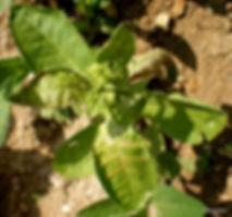 Tütünde Lekeli Solgunluk Virüsü Hastalığı, TSWV, Tomato spotted wilt tospovirus