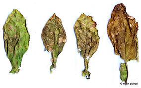 Tütün Piresi, Epitrix hirtipennis