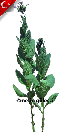 tütün bitkisi