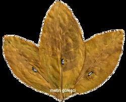 İzmir Tütünü