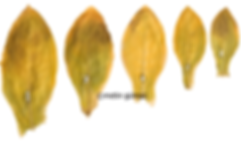 izmir tütünü, türk tütünü, yaprak tütün, leaf tobacco