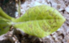 vahşi ateş, Pseudomonas syringae tabaci