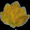 Gümüşhacıköy tütünü, basma tobacco