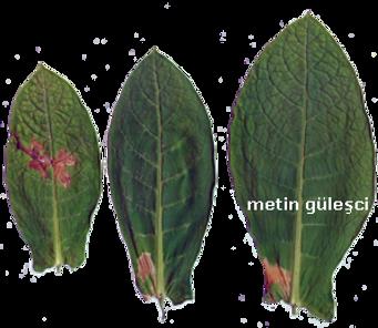 Tütün Gebesi (Phthorimaea opercullella)