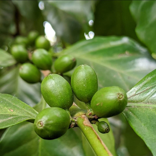 Learn everything about the coffee of Sao Paulo