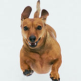 brown-short-coated-dog-on-white-backgrou