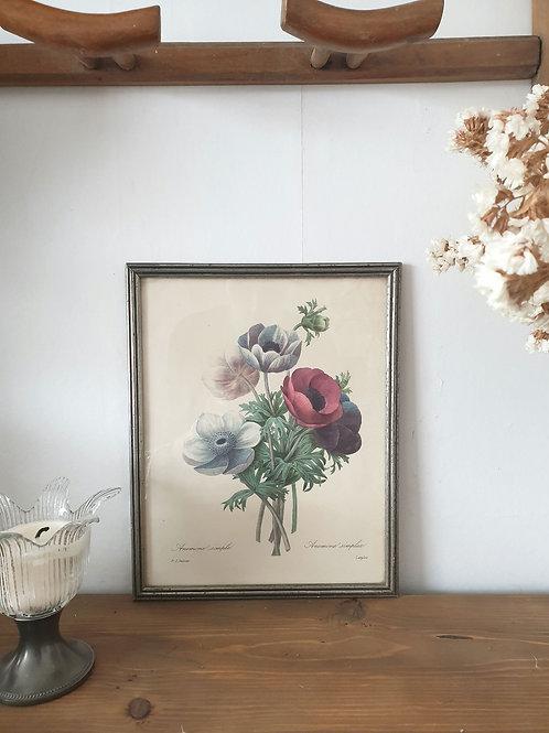 Planche botanique bouquet d'anémones