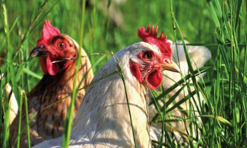 Junghühner au der Weide