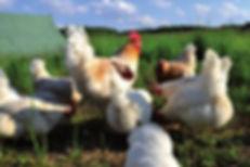 Hühnerfamilie auf der Weide
